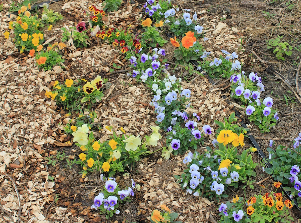 I just mulched my pansies and violas with some woodchips, and they are blooming like mad.
