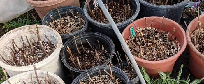 Taking hardwood cuttings: propagating magic that's so easy to do