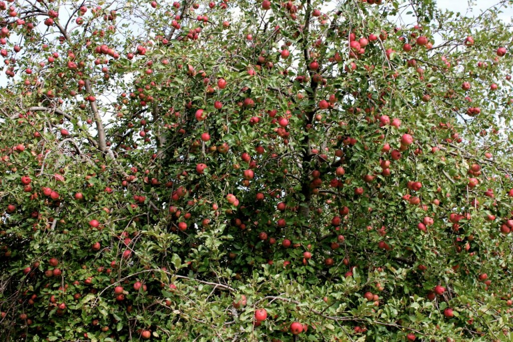 applecidering