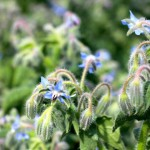 7 excellent reasons to plant borage in your garden: and free seeds!