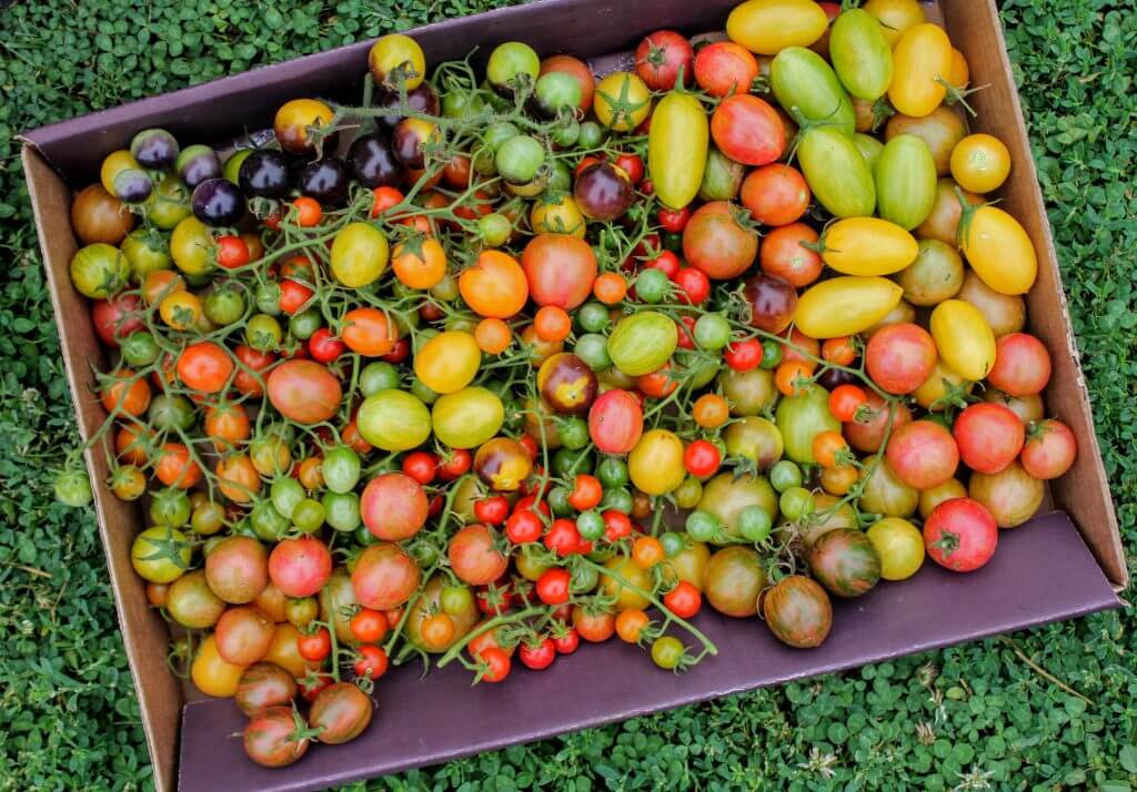 Picture of multi-colored cherry tomatoes.
