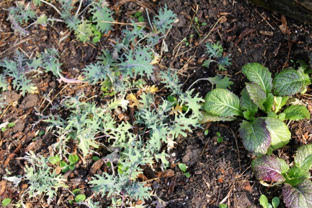 baby kale--it still lives, happily!