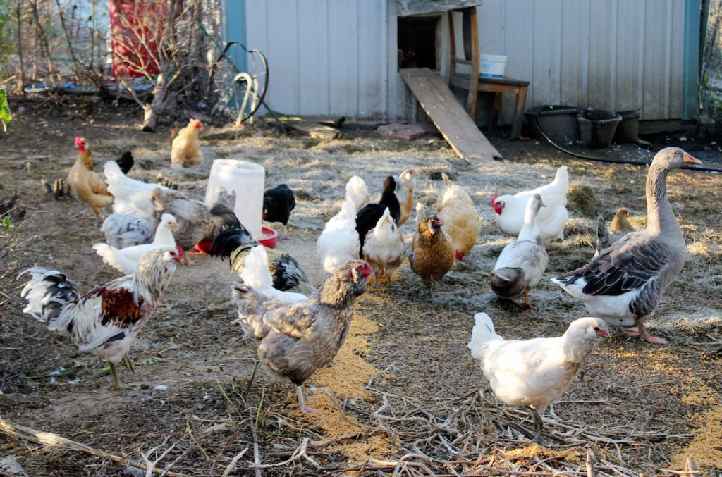 My Chooks Dont Mind The Changing Of Seasons One Whit