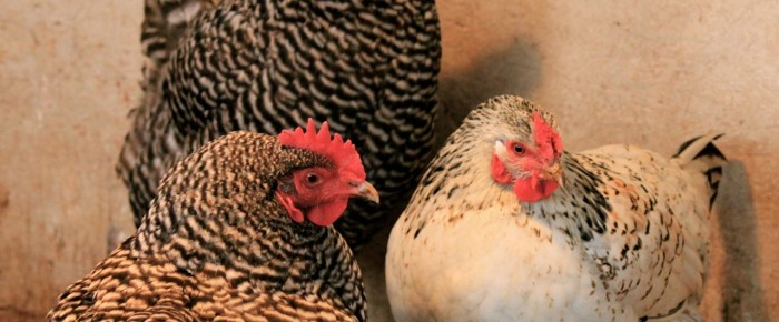7 things you really must keep in your chicken coop this winter