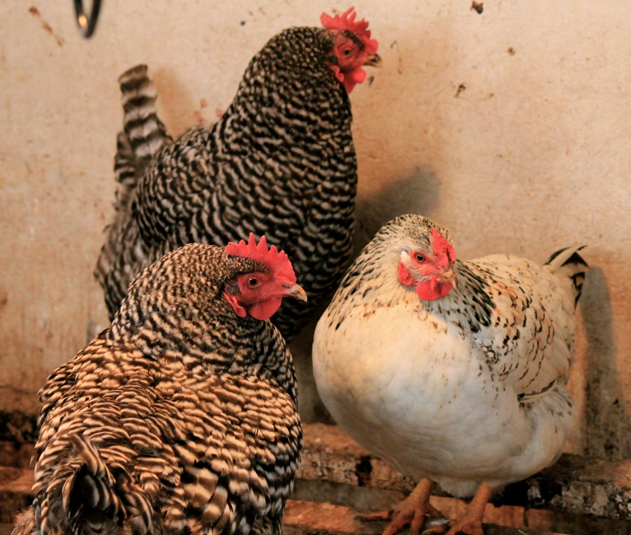 7 Things You Really Must Keep In Your Chicken Coop This