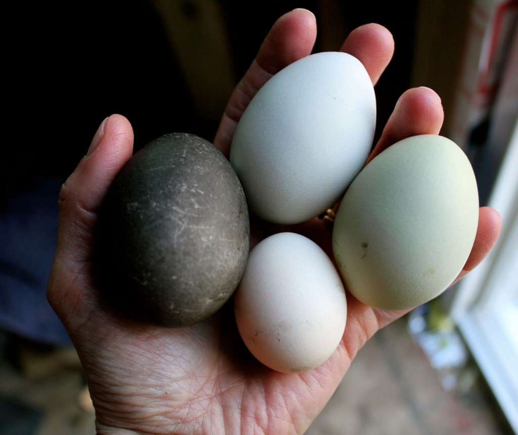 See what I brought in? From the left: a nearly-black egg from my duck Calpurnia, two Americauna eggs, and (yes!) a tiny egg from one of my Icelandic pullets. :)