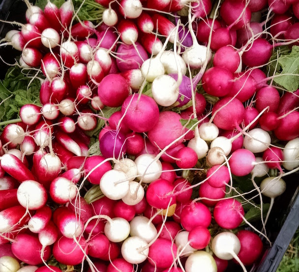 Beautiful harvest of radishes: French Breakfast, White Hailstone, and Pink Beauty. Oh, I think there are a couple of purple ones in there, too. :)