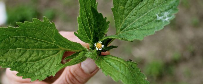 Gardening Puzzlements: this new weed will not break me . . .