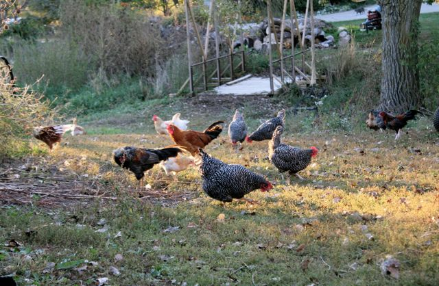 And chickens. I have lots of chickens. :)
