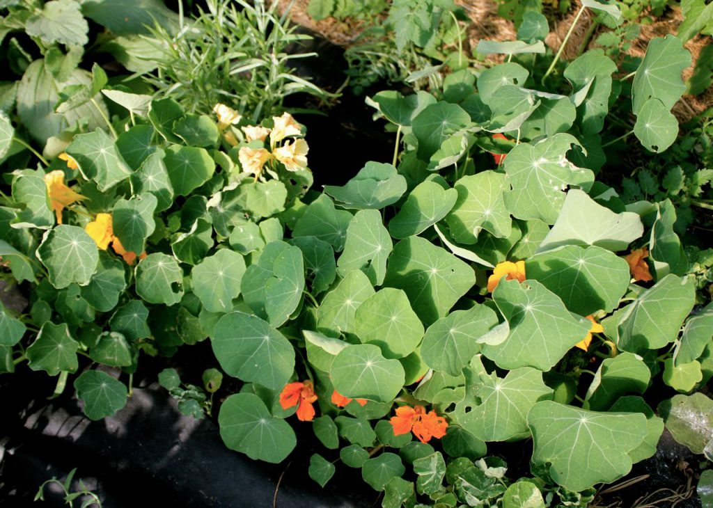 I planted lots of colors of nasturtiums. Because: what is more romantic than eating flowers in your salad?