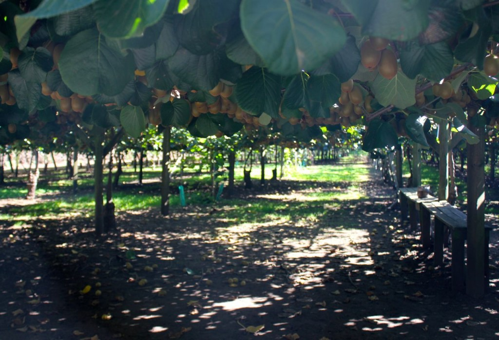 This is how the kiwifruit vines are grown: the fruit hang down in such a way that picking them when they are ripe is simply done.