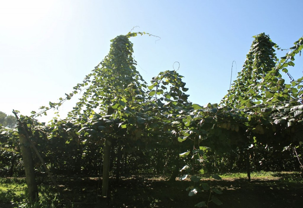 These lines were strung up to make pruning easier: the new growth works its way up the strings, and then after the old growth (below) is pruned, the lines are cut, allowing the new growth (where the kiwifruits will grow) settle down on the supports below.