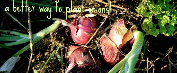 It's no-turning-back-awesome: a better way to plant onions!