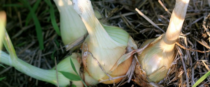 Crucial onion growing update (for you, especially, Rose)