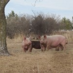 Pigs in the yard
