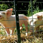 13 Things I Didn't Know About Pigs