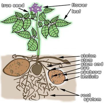 potato-plant-diagram