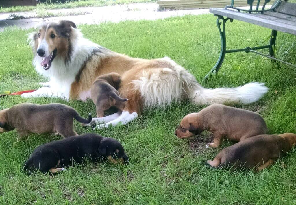 puppies in the grass with mama dog