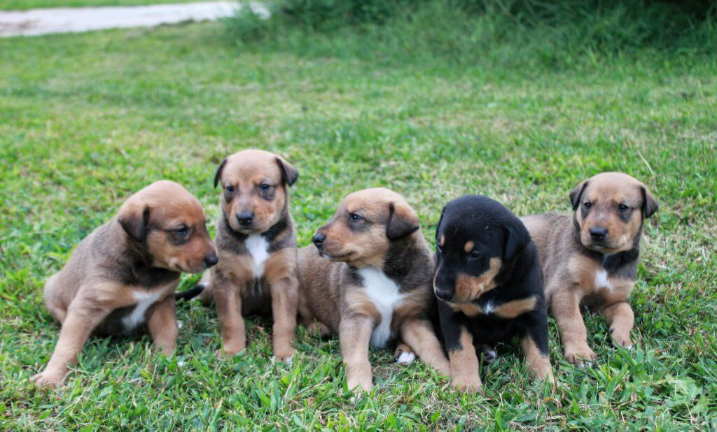 row of five puppies