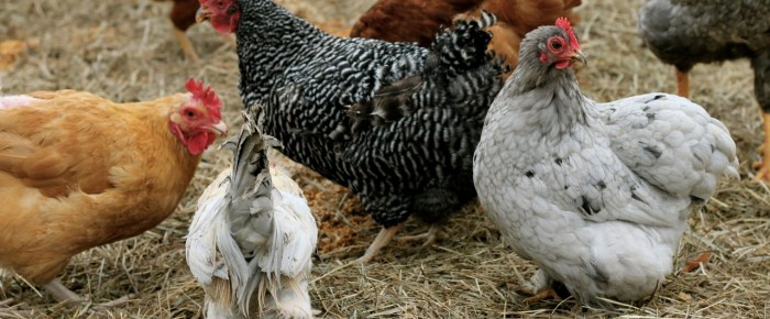 The Pros and Cons of Keeping Chickens from One Who Knows –>me!