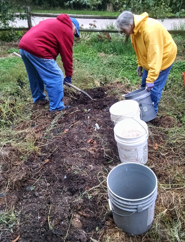 This is how it's done: note the clumps of sweet potatoes, which were planted in a ridge. The buckets aren't just optimism. We filled them all, mostly.