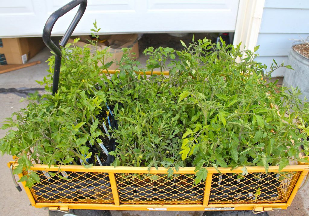My little wagon, crowded with tomato plants.