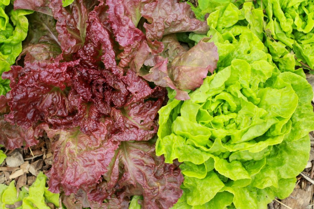 Tom Thumb on the right, and red leaf lettuce on the left.