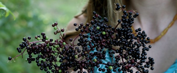 Treasure in the ditches: it's time to forage for wild elderberries!