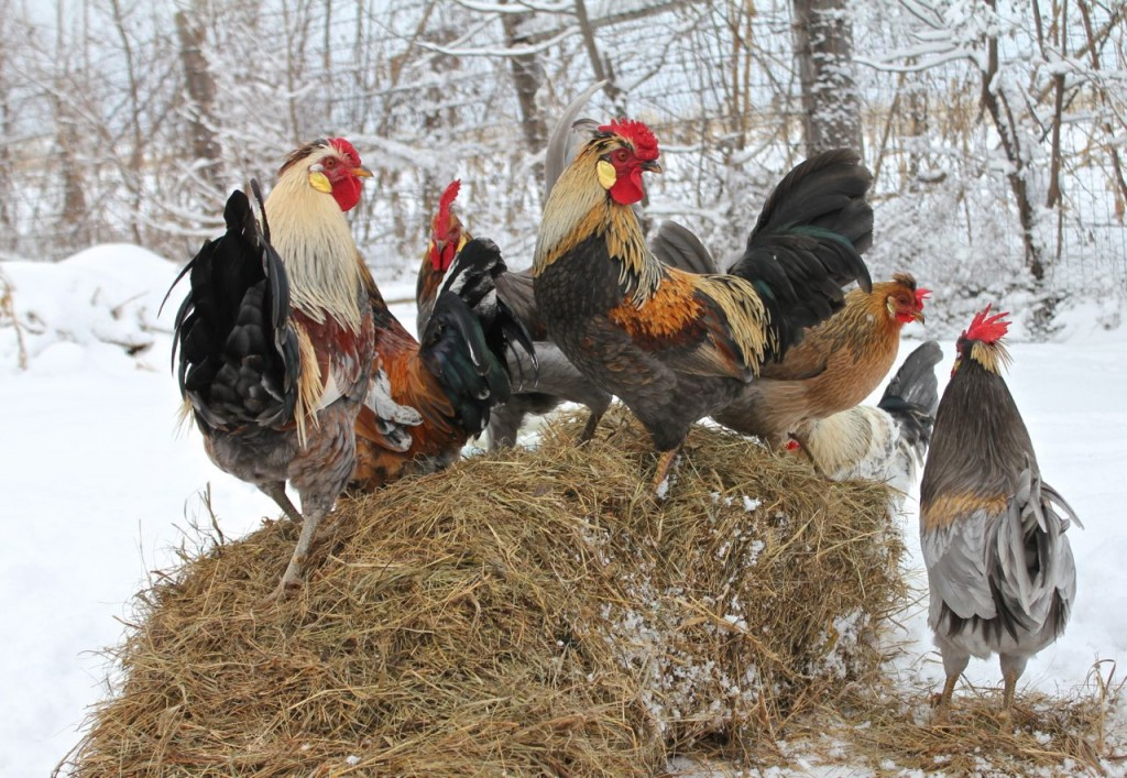 My Icelandic roosters say Merry Christmas, too! :)
