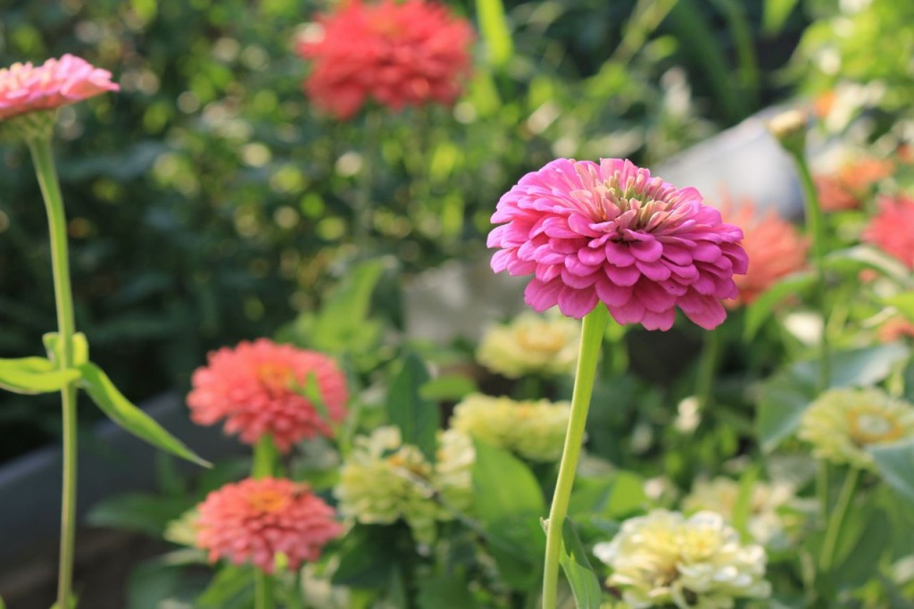 Zinnias couldn't be prettier.