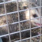 The End of the Dreaded Varmint