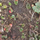 Rhubarb-dividing time will be followed by pie-making season!