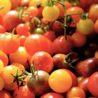 Heirloom tomatoes: new favorites this year, fall 2015
