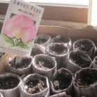 Secret Weapon for your seedlings: newspaper pots!