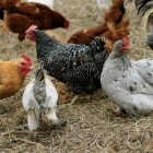 The Pros and Cons of Keeping Chickens from One Who Knows -->me!<--
