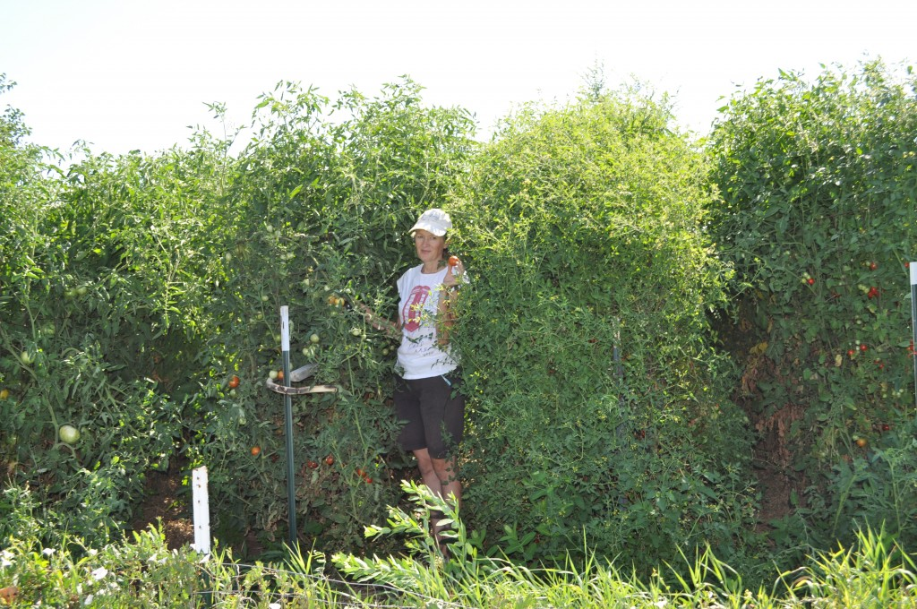 This is me, in my jungle of tomato plants.  Yes, I planted the rows too close together.  Again.