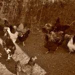So, I Like Chickens