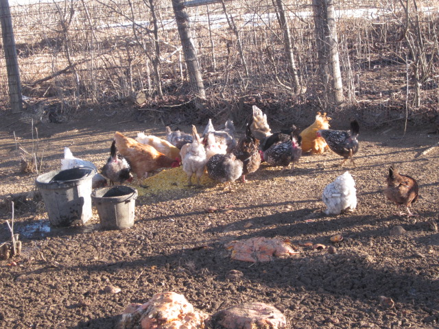 See how serene the chicken yard is, sans guineas?
