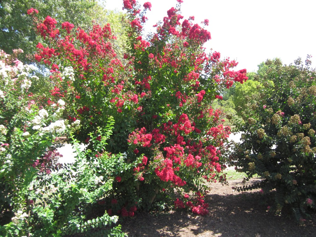 I think these are Crepe Myrtle:  we can't grow these out on the prairie.