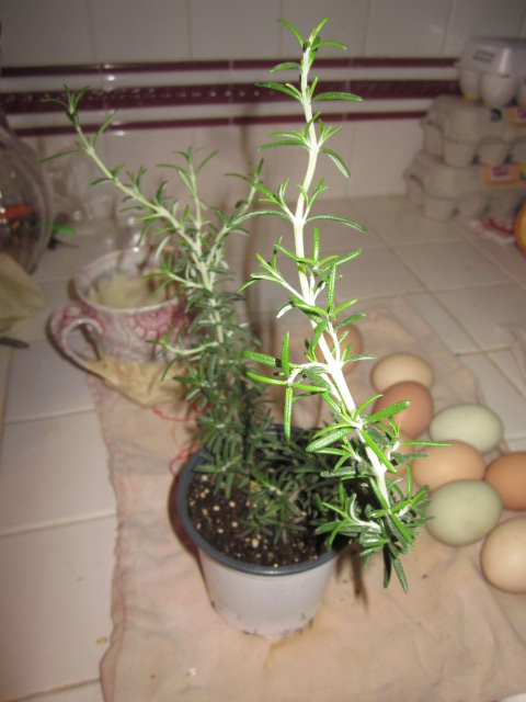 My rosemary plant is a close personal friend.
