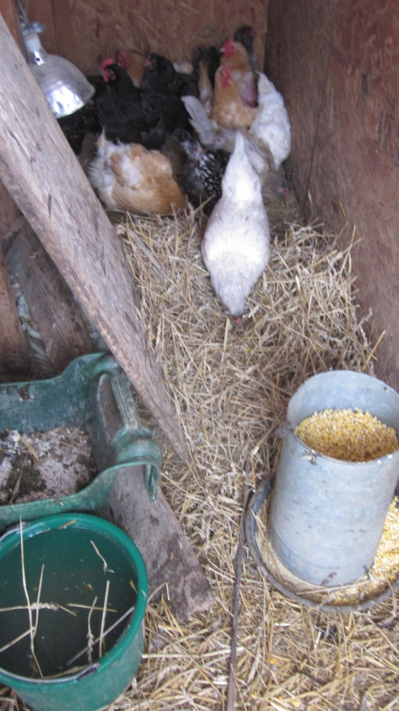 Being fed indoors is a luxury for my chickens.