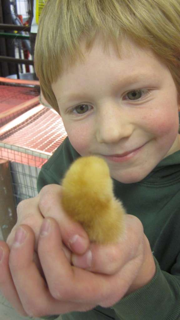 I gave little Mack permission to choose one bantam for his very own, so he is very happy about that and bonds immediately with this little fella.