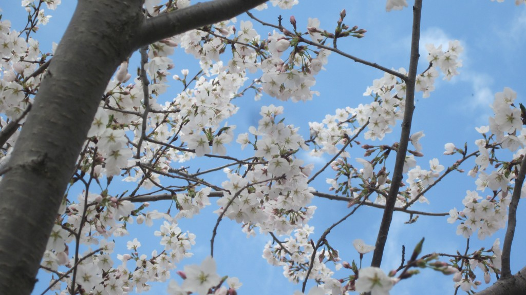 We have a weeping cherry tree in our back yard.  It's full of honeybees today, hungry for pollen.