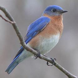 We have Eastern Bluebirds here in Nebraska (image from Wikipedia).