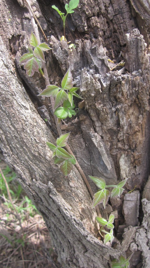 Yikes! Poison ivy! Here it is just coming out on this tree.