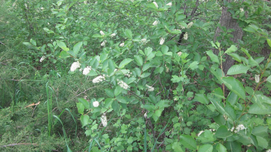 You can recognize the chokecherry bushes from the sprays of flowers, which will soon be replaced by berries.