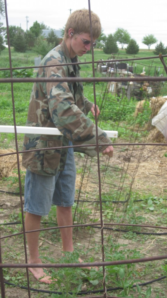 Here's my strong teenage son, Timothy, with a tomato cage that he just made, setting up a line of cages.