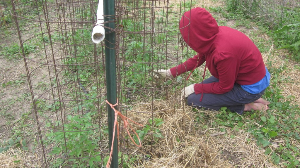 Here my daughter pampers each tomato plant with thick mulch.