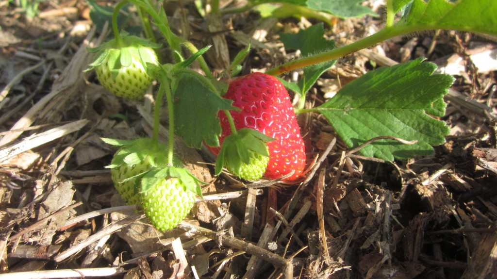 Sometimes it pays off to pull weeds from the strawberry patch in between running errands and taking pictures.