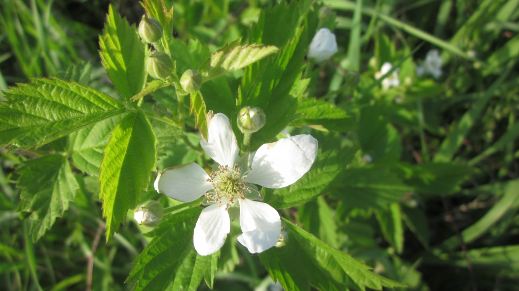 I discover some dewberry blossoms in the brome grass. I planted these brambles years ago and forgot about them and am surprised to find that they are covered with blossoms!